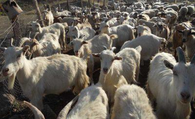 Goats website