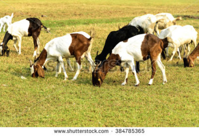 stock-photo-goats-eating-grass-on-a-pasture-384785365